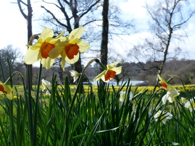 Daffs at Earnley
