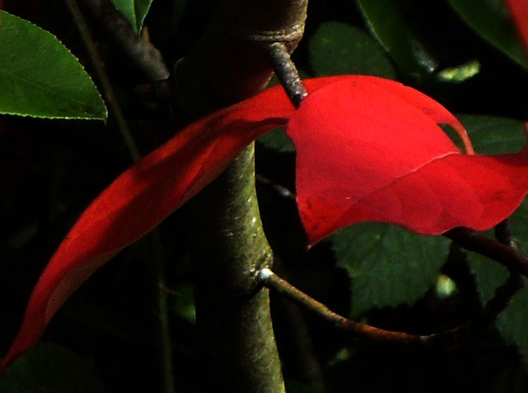 Red leaf in the forest